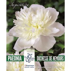 Bulbi di Peonia Duchesse de Nemours confezione da 1 pz