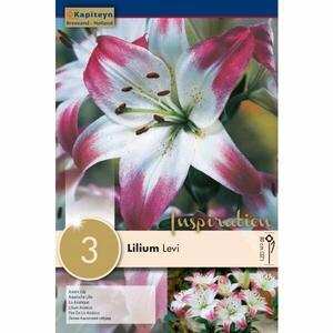 Bulbi di Lilium Levi confezione da 3 pz