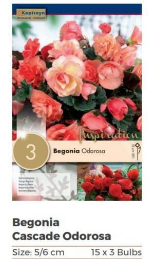 Bulbi di Begonia Odorosa confezione da 3 pz