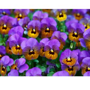 Essenthya - Violetta foglie olio essenziale (assoluta)