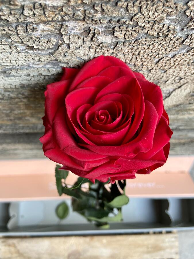 ROSA SINGOLA STABILIZZATA V-ROSE ROSSA RED A GAMBO LUNGO IN ELEGANTE BOX REGALO