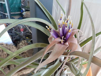 Tillandsia Capitata peach