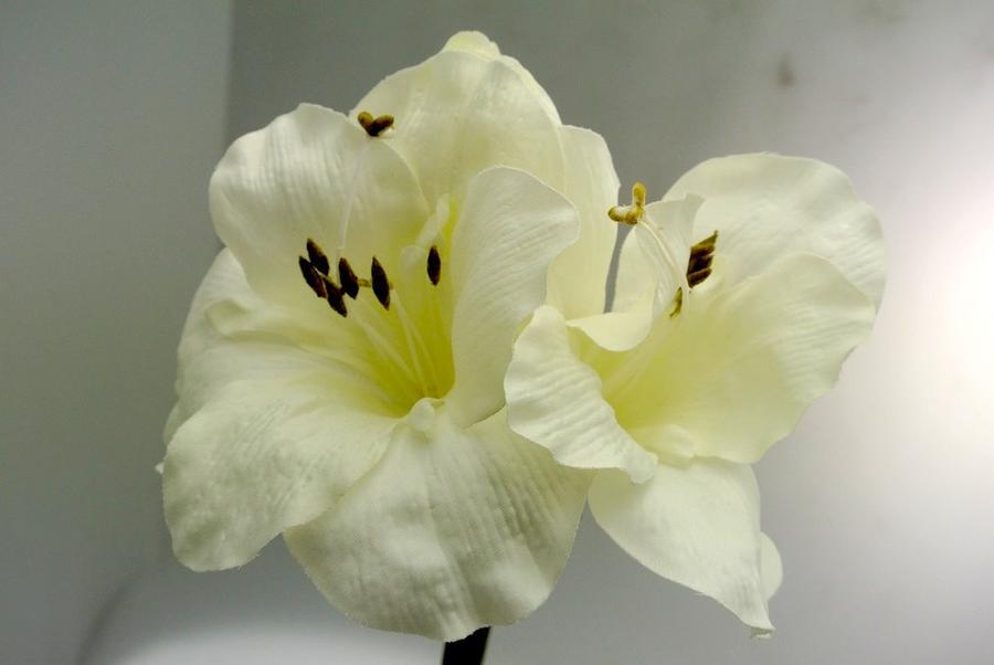 AMARYLLIS - BIANCO WHITE