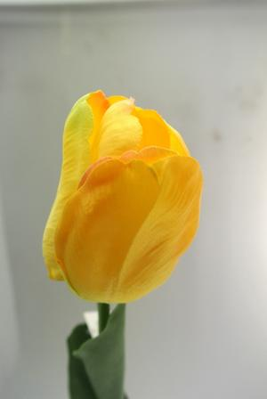 TULIPANO - GIALLO YELLOW
