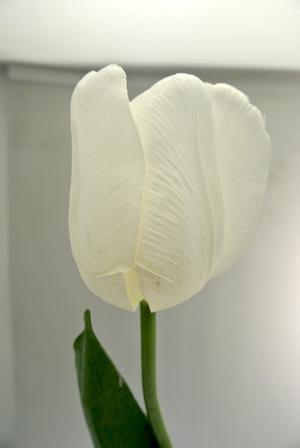TULIPANO - BIANCO WHITE