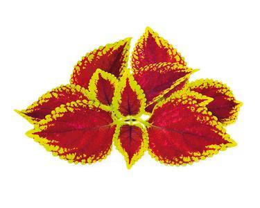 Ortica colorata