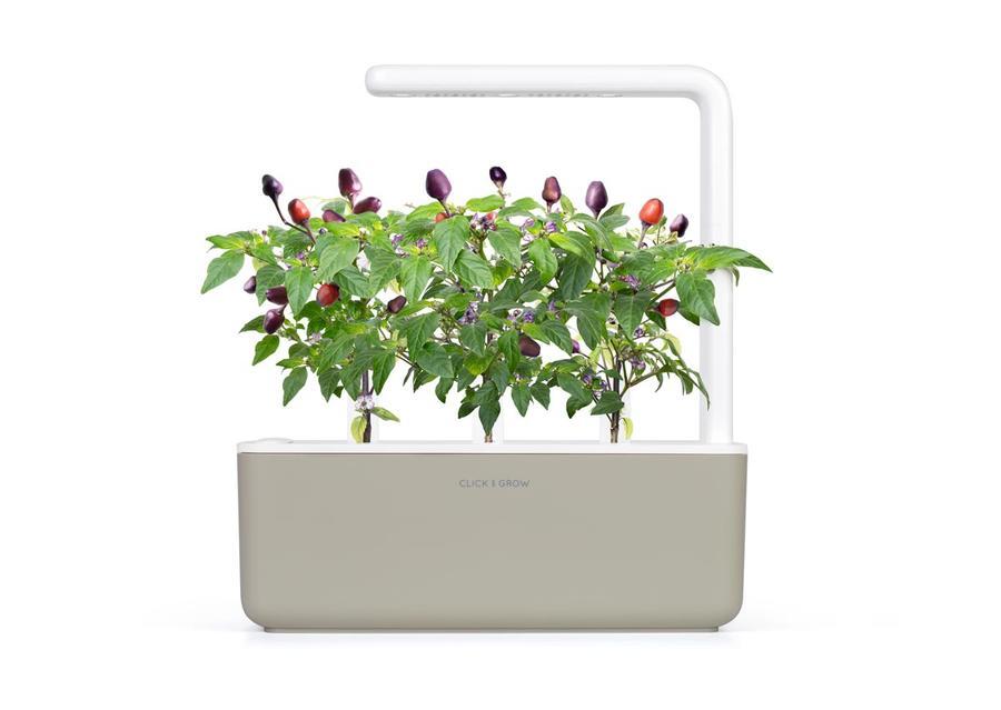 Peperoncino viola