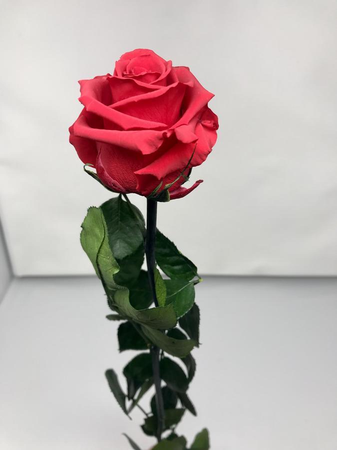 ROSA SINGOLA ROSSA RED STABILIZZATA GAMBO LUNGO