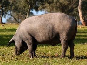 JAMON PATA NEGRA CEBO DI CAMPO 100% IBERICO BEJER ROJA