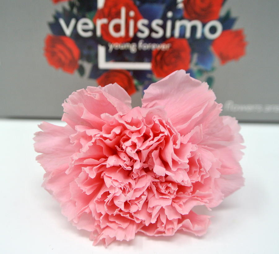 GAROFANO ROSA PASTELLO ROSE PASTEL STABILIZZATO - BOX 6 TESTE