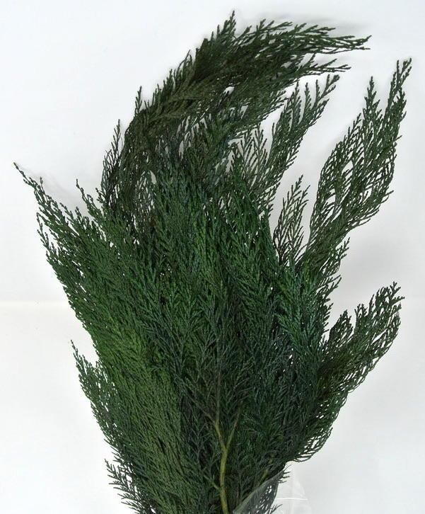 THUYA ORNAMENTALE STABILIZZATO - COLORE VERDE GREEN