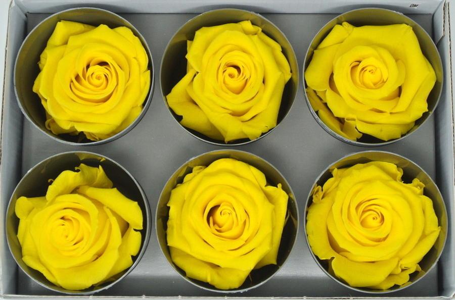 ROSA BOCCIOLO GIALLO YELLOW DAFFODIL STABILIZZATA -  Box da 6